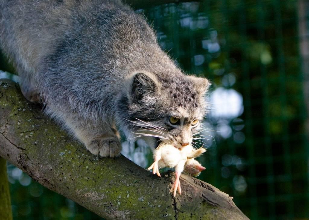 Дикий лесной кот: описание с фото, образ жизни и среда обитания животного