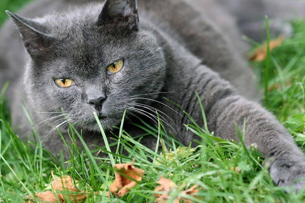 Шартрез кошка. описание, особенности и уход за кошкой шартрез | животный мир