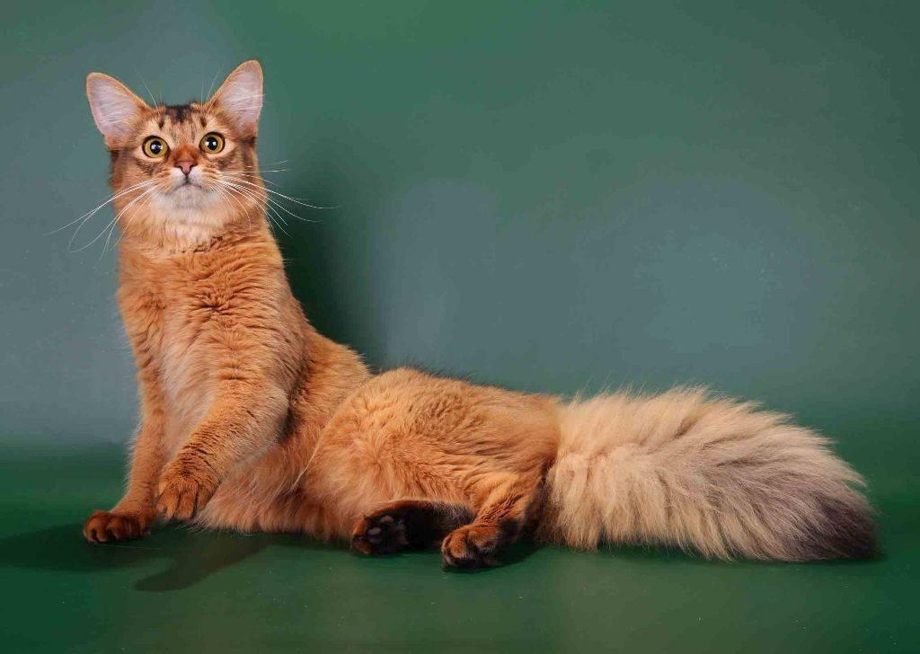 Описание породы Сомалийская кошка