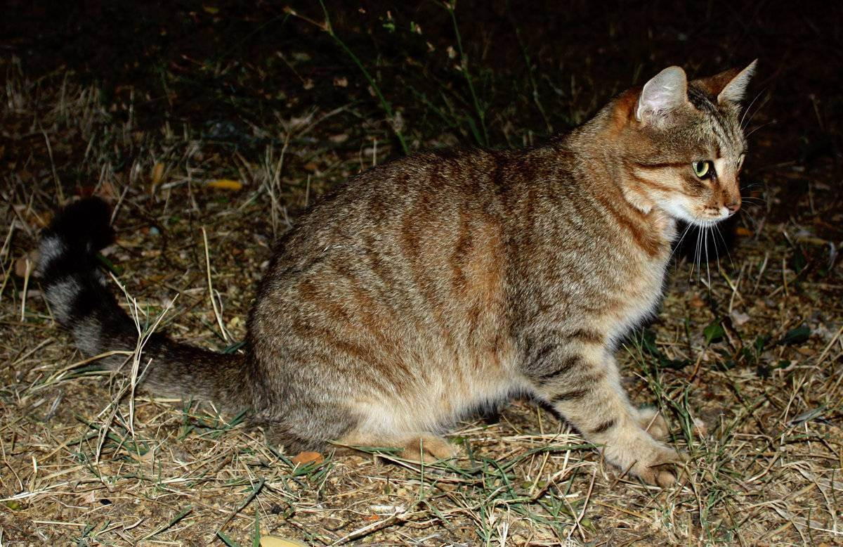 Кот-крысолов: породы с фото и описанием, особенности содержания охотников на мышей и крыс