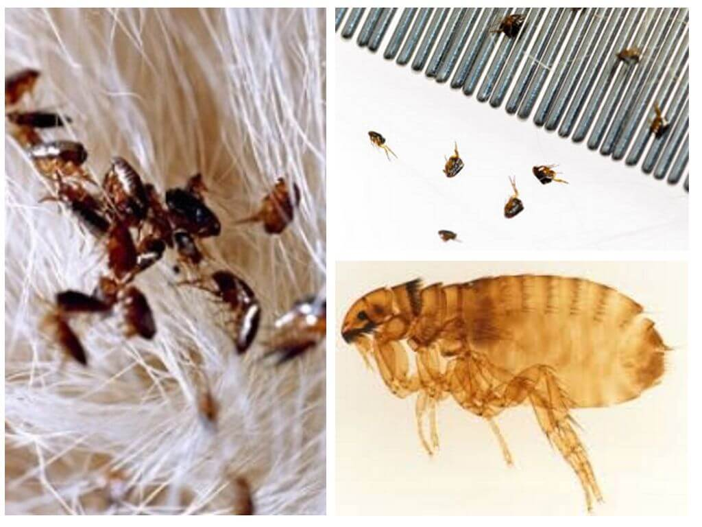 Как вывести блох у кошки или кота в домашних условиях, чем избавиться от паразитов у котенка, откуда они берутся у животного, фото