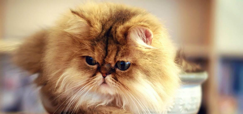 Авызнали какова средняя продолжительность жизни кошек вдомашних условиях? (1фото)