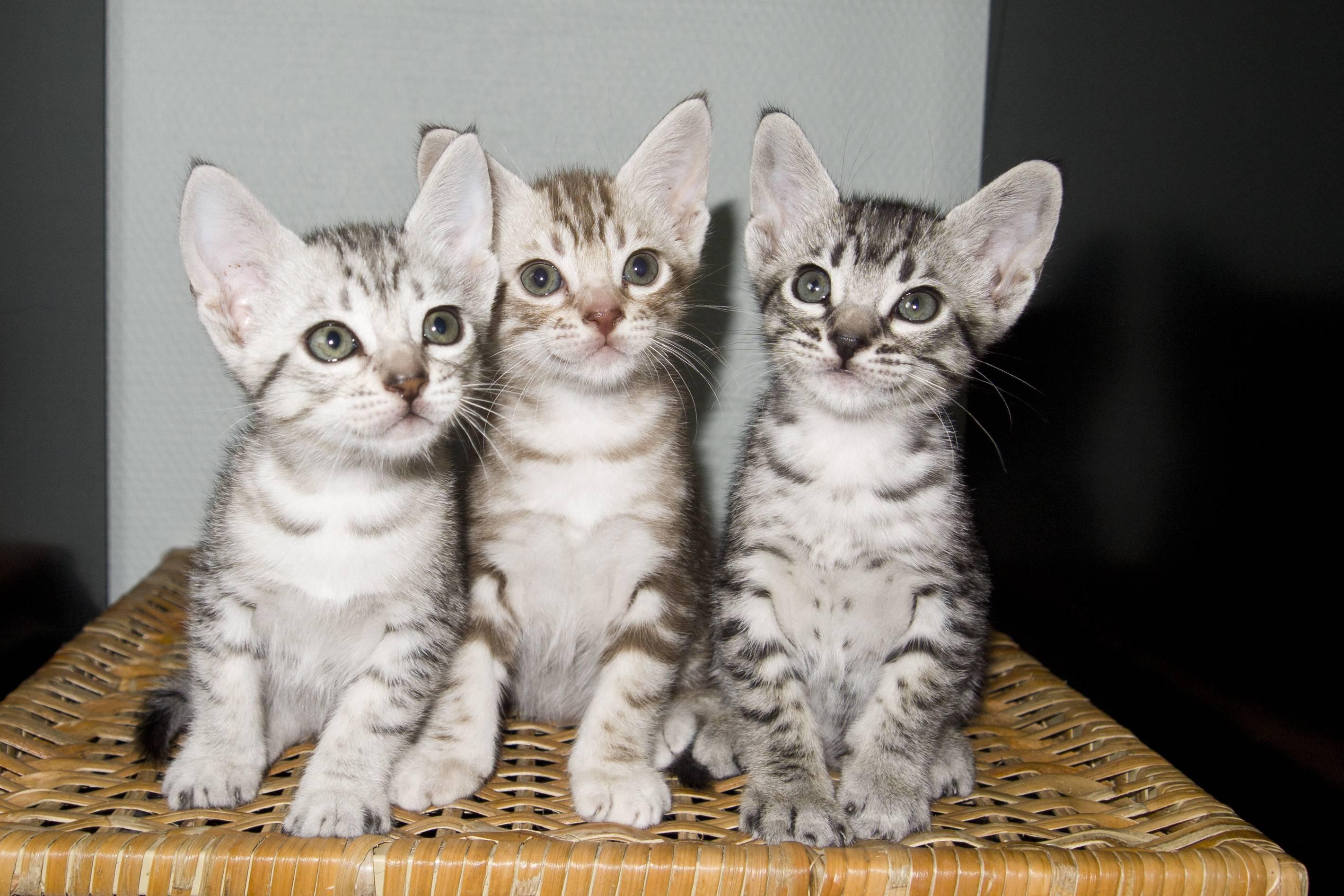 Недорогие породы кошек и их ориентировочная стоимость