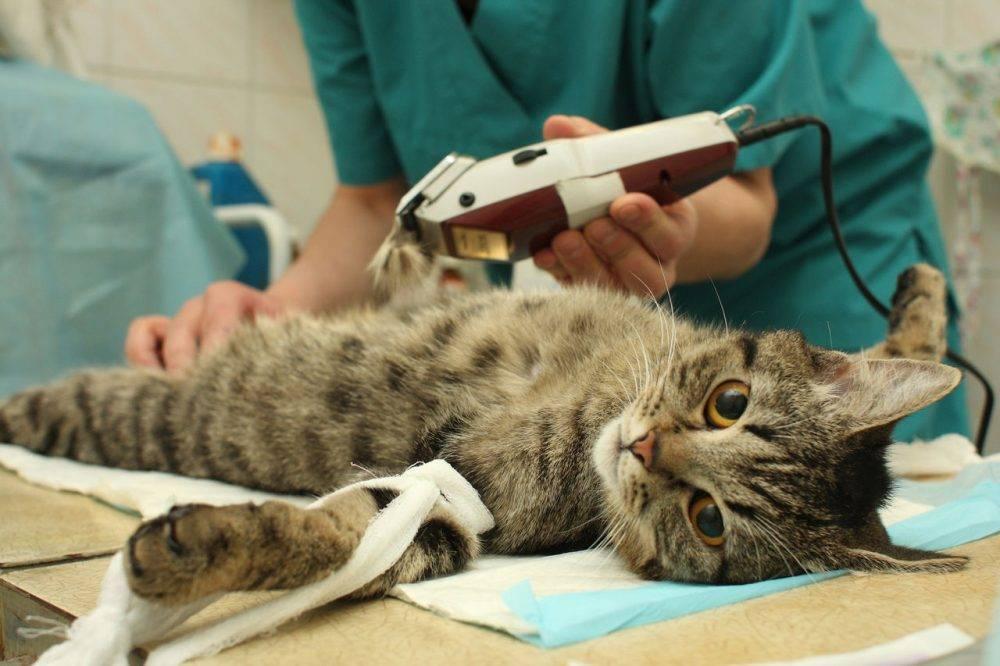 Стерилизовать кошку или нет: за и против, в каком возрасте можно + советы ветеринаров