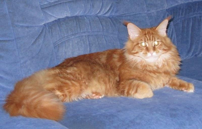 Как растут котята мейн-кунов по месяцам?