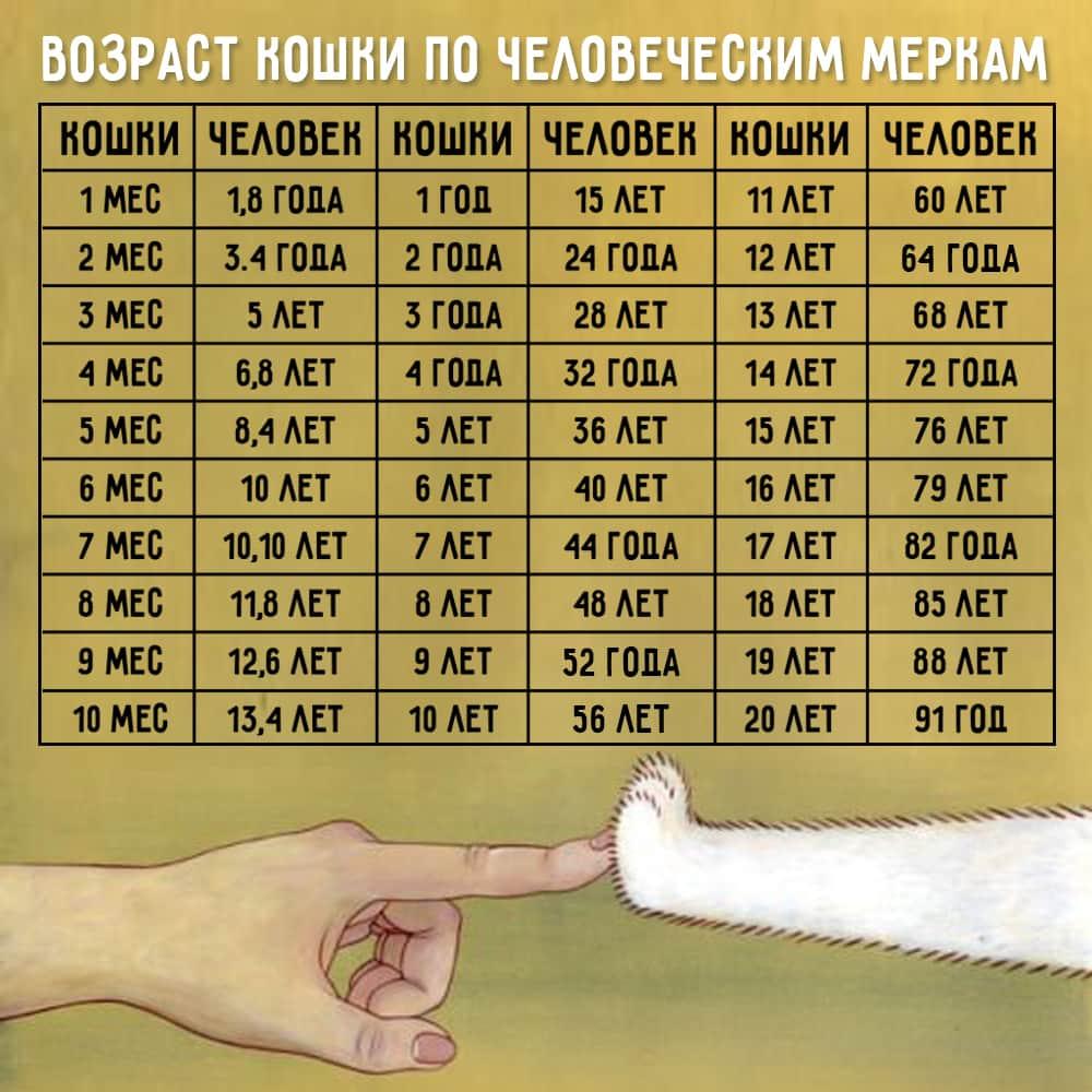Возраст кошки по человеческим меркам: сколько лет, соответствие людям, таблица, 2, 3, 4 года, 10, 11, 14 лет