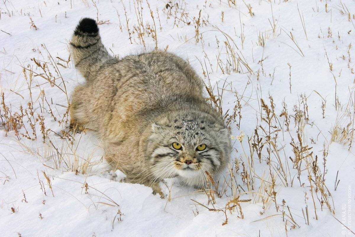 Манул: фото кошки, описание породы, обитание, питание, размножение манул: фото кошки, описание породы, обитание, питание, размножение