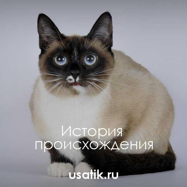 Сноу шу кошка: фото, характер, уход и содержание, цена котят