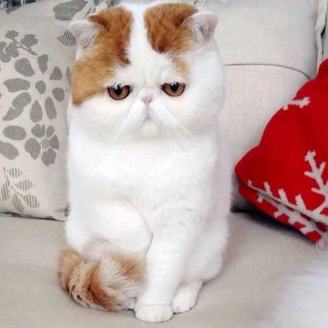 ᐉ японский кот снупи: описание породы, характер - kcc-zoo.ru