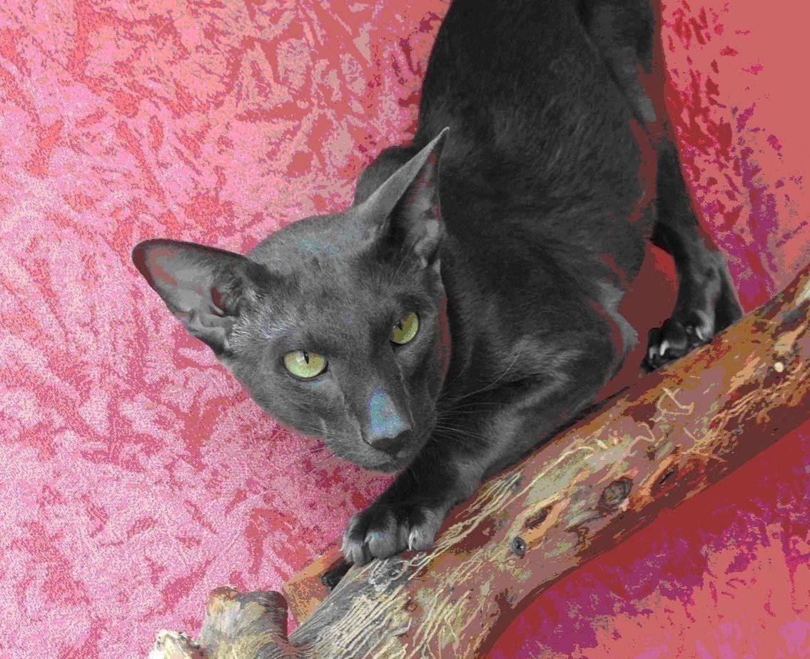 Кошки, на которых нет аллергии у человека: выбор породы