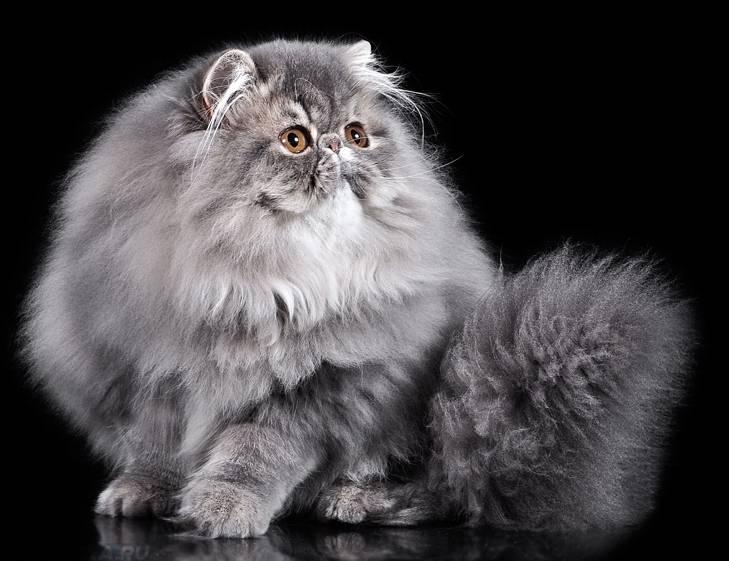 Персидская кошка. характер и все о породе от эксперта по кошкам