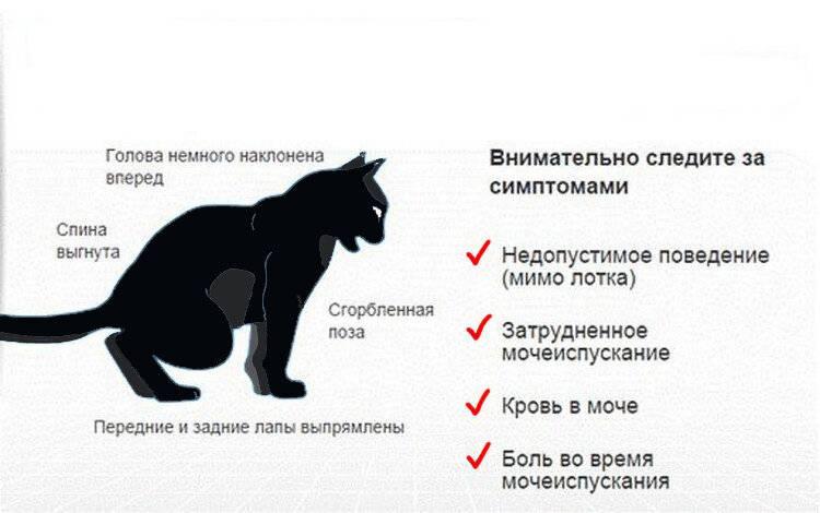 Болезни кастрированных котов - симптомы и лечение