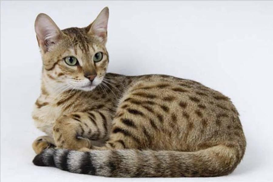 Серенгети: характеристики, особенности ухода и содержания кошки в домашних условиях (100 фото)
