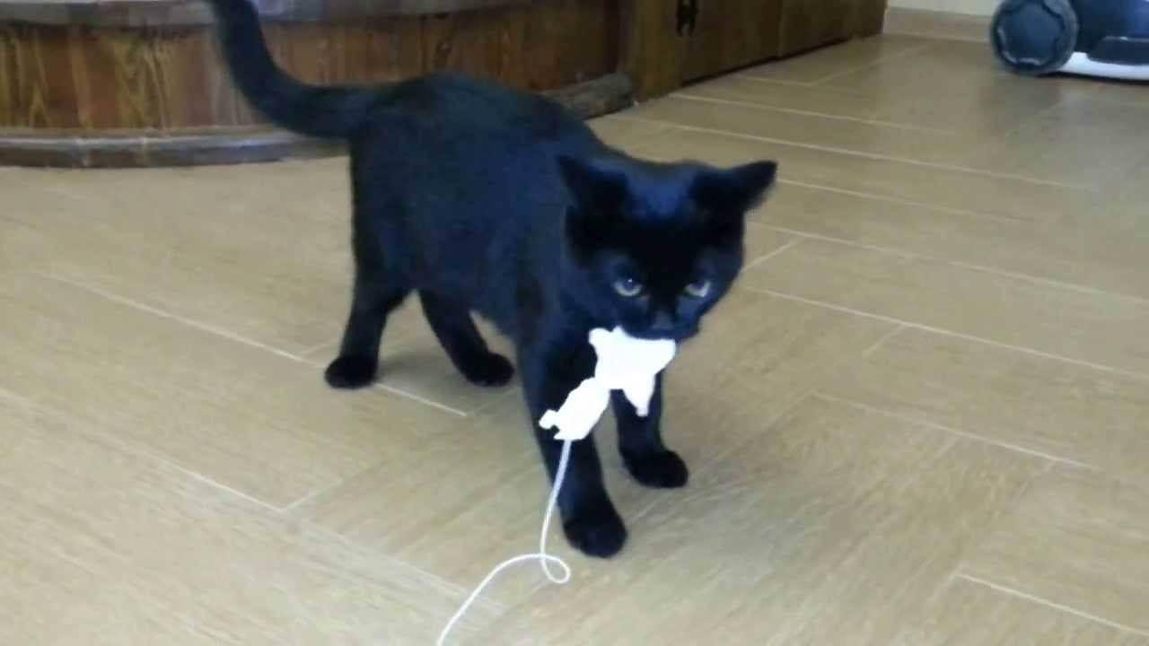 Черно-белые кошки: различные породы и особенности