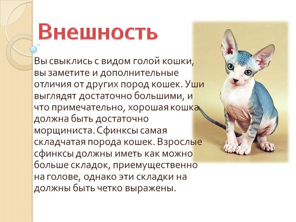 Канадский сфинкс - описание породы и характер кошки