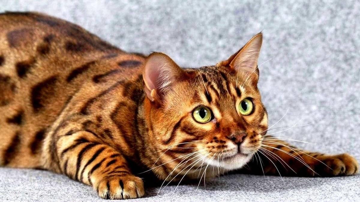 Самые большие дикие кошки, самая крупная дикая кошка - лучшие топ 10
