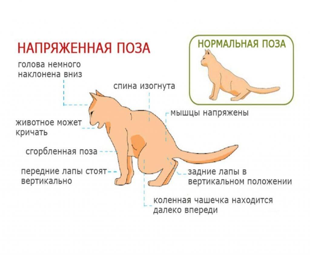 У кота опухла лапа: причины и что делать