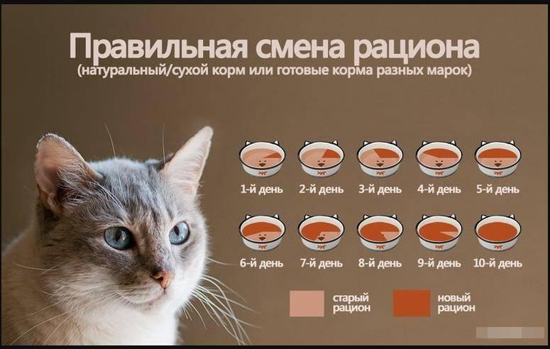 Рацион питания британской кошки