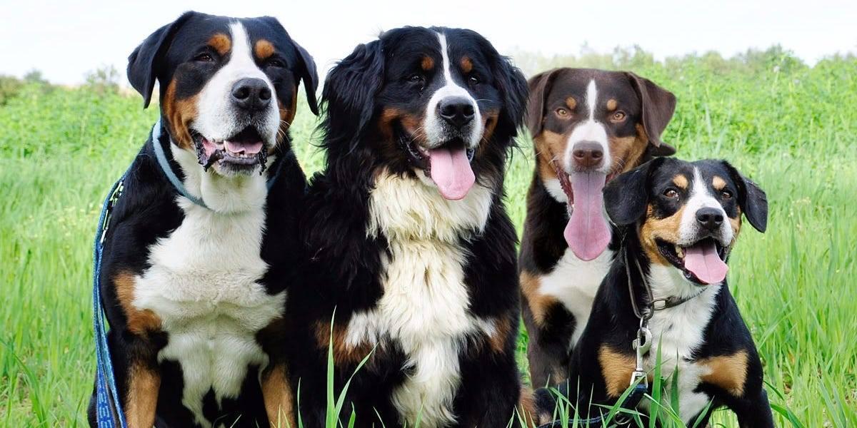 Характеристика собак породы большой швейцарский зенненхунд с отзывами и фото