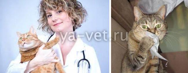 Кошка кашляет, как будто подавилась, хочет вырвать, хрипит, чихает: что делать, причины и лечение