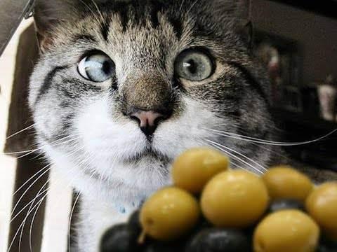 Можно ли коту оливковое масло, или кошку маслом не испортишь. почему коты любят оливки? кот любит маслины