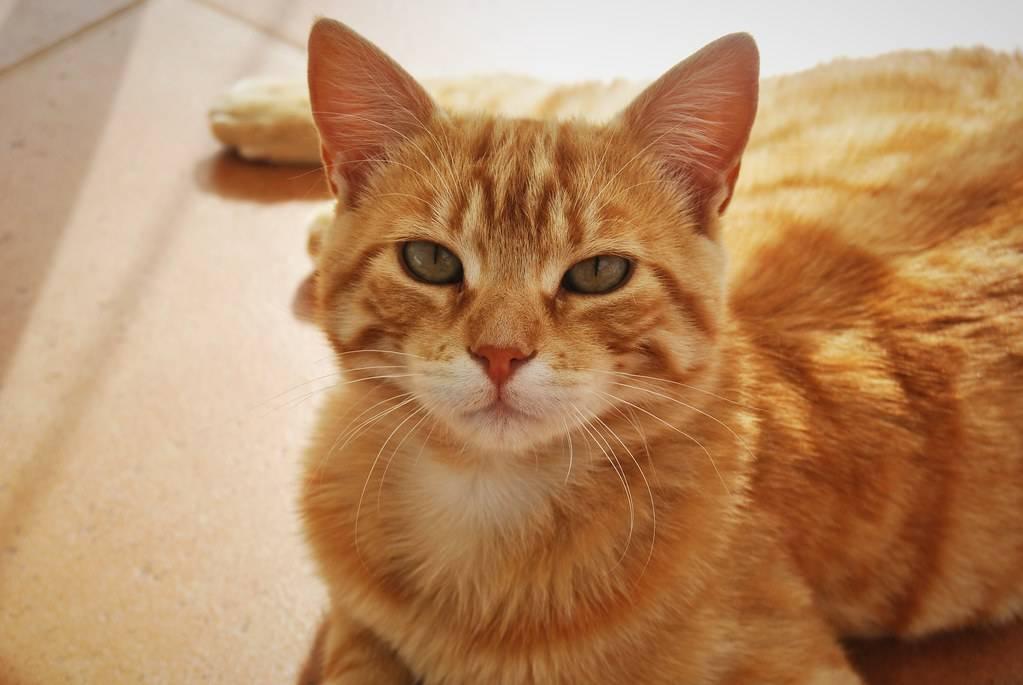 Бывают ли рыжие кошки? породы рыжих котов бывают ли рыжие кошки? породы рыжих котов