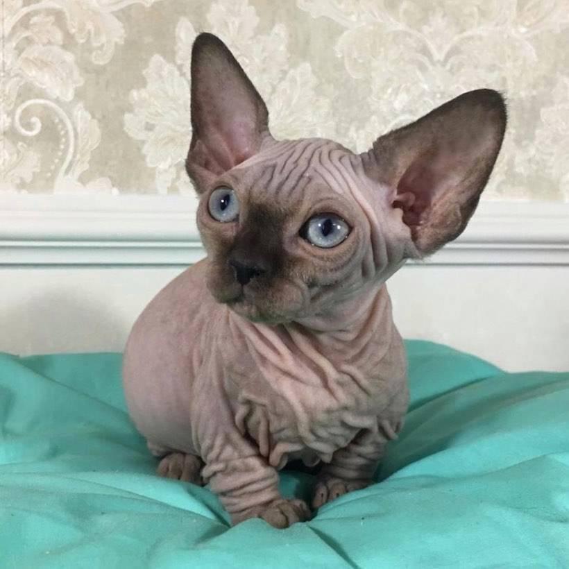 Бамбино – подробно о породе кошек (+ фото и видео)