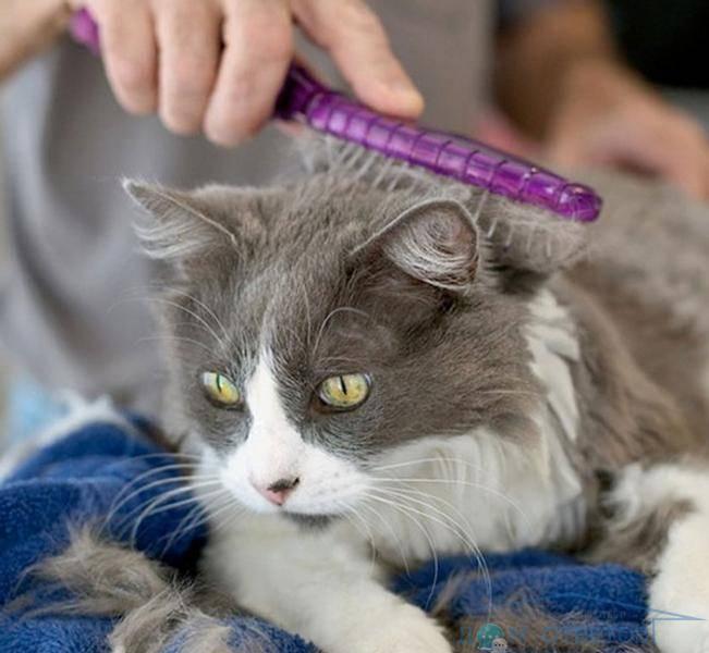 Особенности ухода за длинношерстной и короткошерстной кошкой