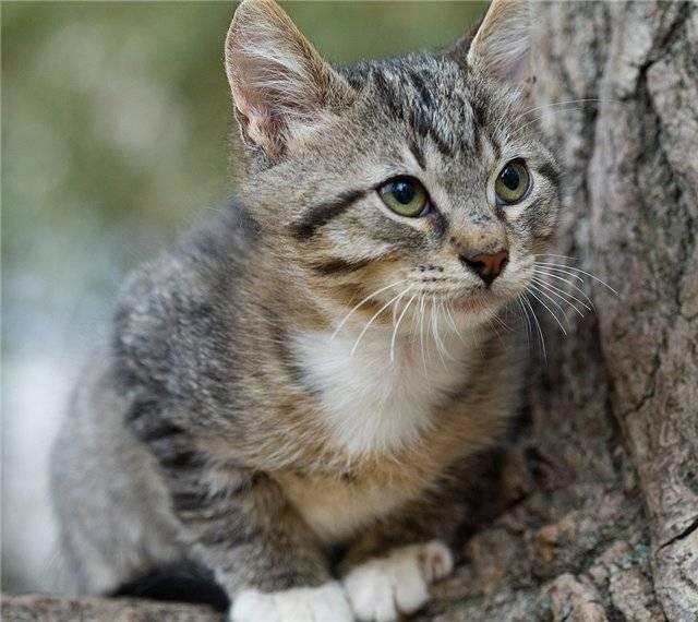 Генетика и особенность полосатых котов
