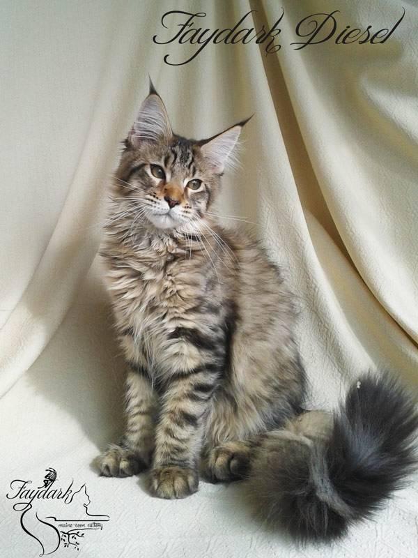 Влияет ли кастрация на рост кота мейн куна | my darling cats