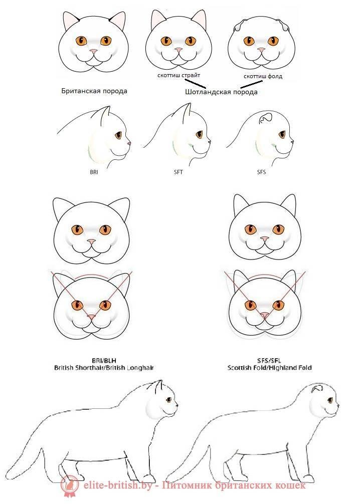 Как отличить шотландца от британца: как отличить британского котенка от шотландского: сравнение котят по породам