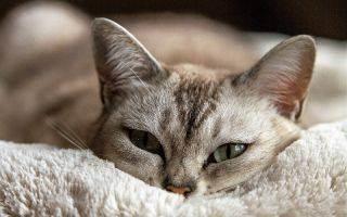 Опасное заболевание — чумка у кошек: симптомы, лечение и профилактика