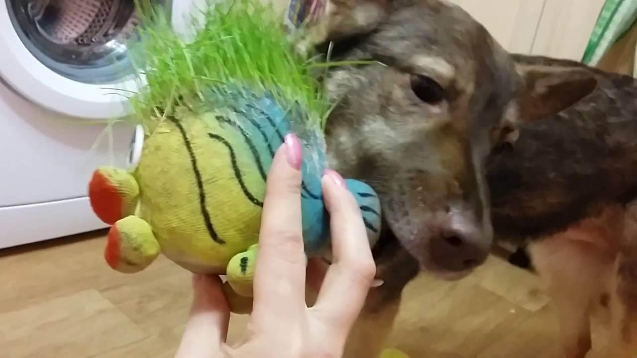 Какую траву посадить дома для кота. зачем коты едят траву в 2020 году