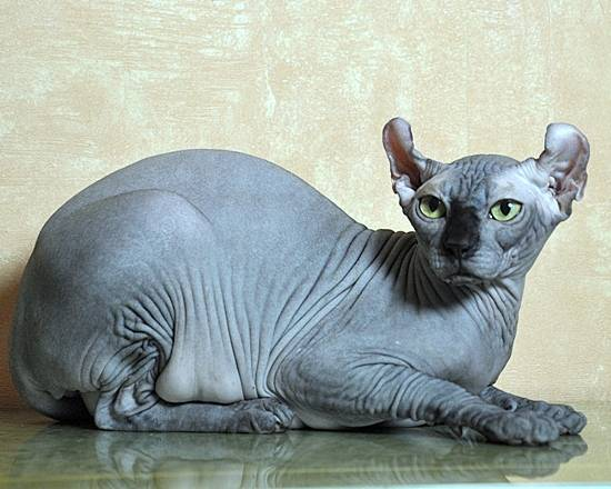 Кошка эльф – описание породы с фото от а до я