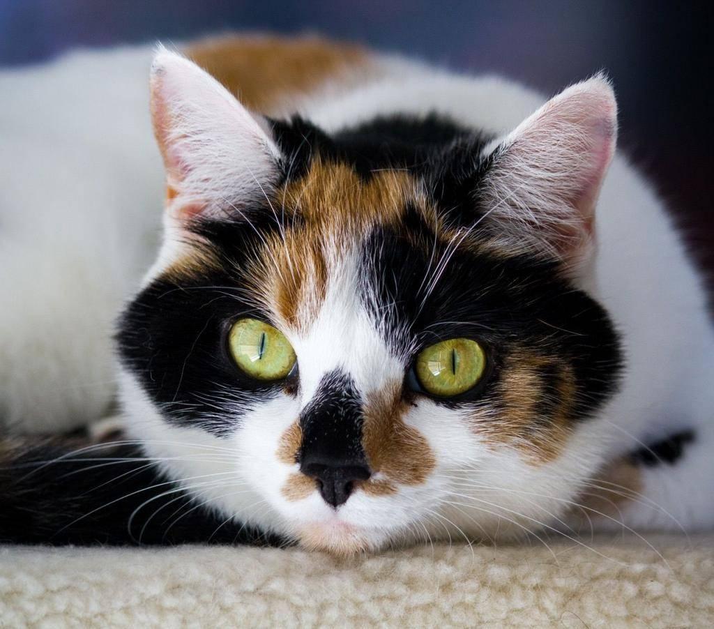 Разные породы белых кошек — 20 лучших