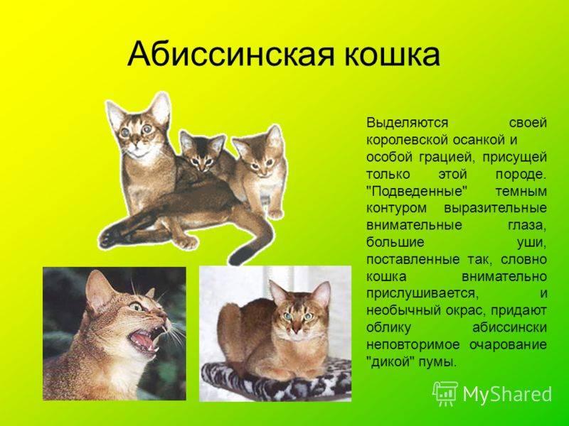 Абиссинская кошка — окрасы, описание породы, поведение и характер