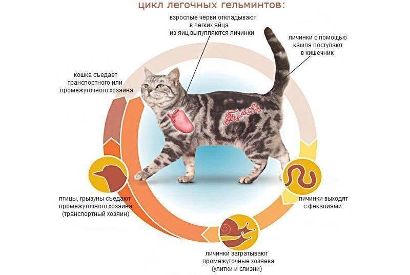 Котенок или взрослый кот чихает и кашляет: причины, диагностика и лечение в домашних условиях