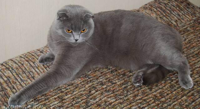 Сколько длится беременность кошки британца. кормление беременной британской кошки. основные причины, которые влияют на продолжительность беременности