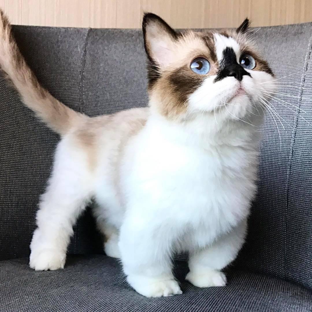 Манчкин порода кошек - история происхождения, питание и уход