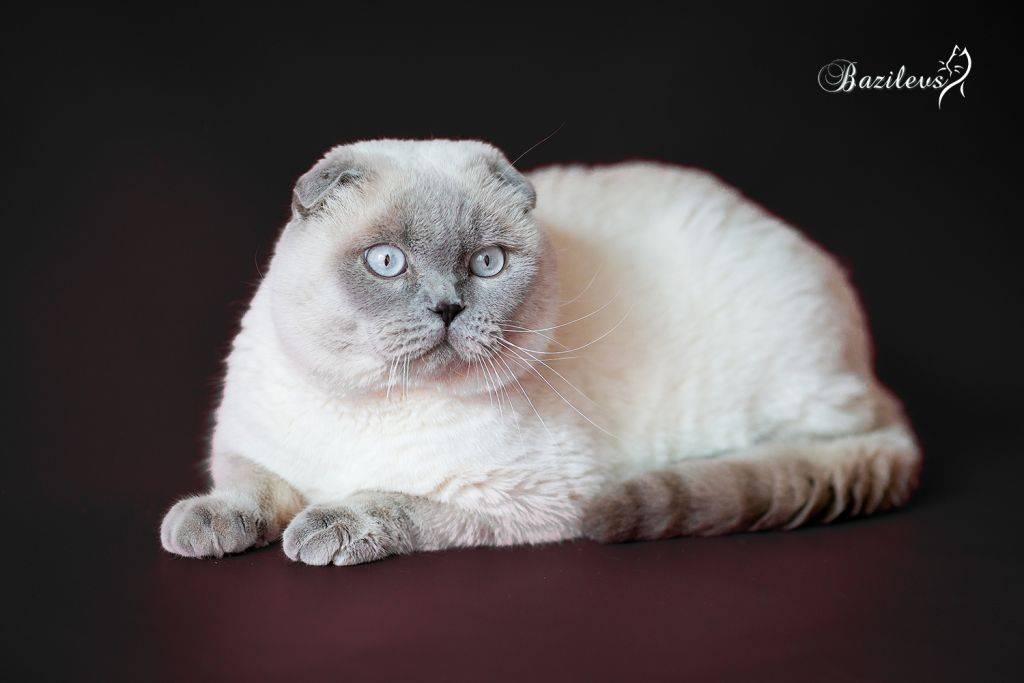 Сиамская кошка — для души и активных игр