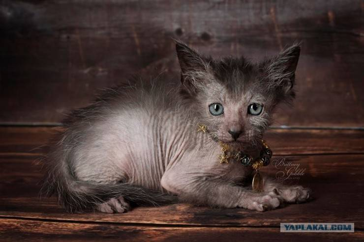 Кошки ликой: описание породы, характер, особенности ухода, история выведения