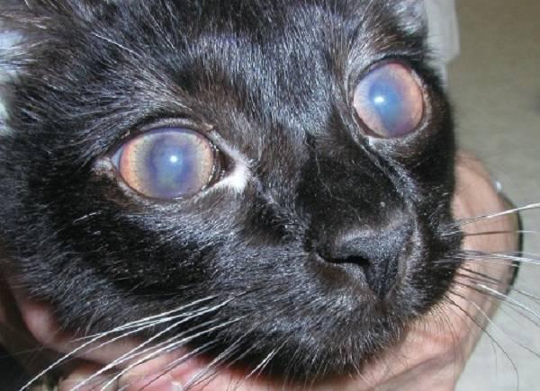 Вирусный перитонит у кошек, симптомы, диагностика, лечение
