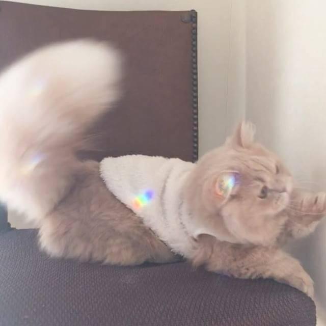 Кошки бобтейлы