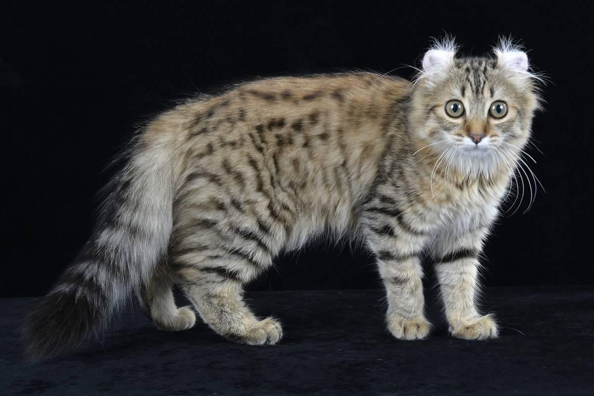 Хищные и добрые: название и описание пород бесхвостых кошек