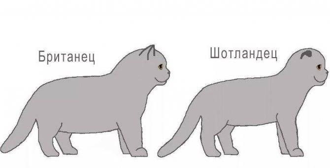 Отличия шотландских кошек от британских - разбираемся во всех нюансах