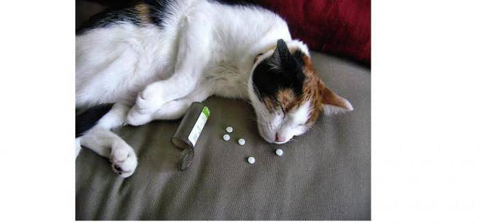 Кошка отравилась — что делать?
