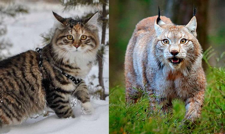 Рысь: виды, описание, образ жизни, поведение, питание животного