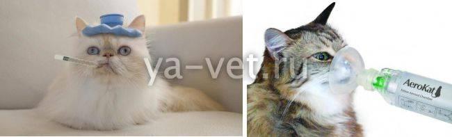 Кот или кошка чихает: что делать, как диагностировать и чем лечить