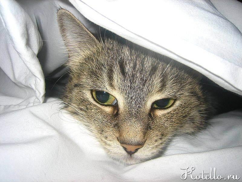 Цистит у кота или кошки - что делать - симптомы и лечение в домашних условиях, причины заболевания, как лечить цистит у кота, препараты в статье на сайте лапы и хвост