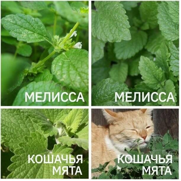 Кошачья мята: для чего она нужна и какой имеет эффект на кошку?